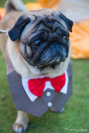 Pet dog dressed up in suit